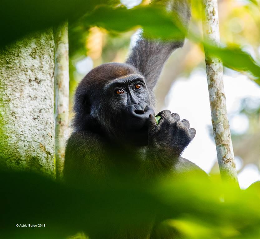 Astrid Bergo – Lowland Gorilla 1 – Open Colour