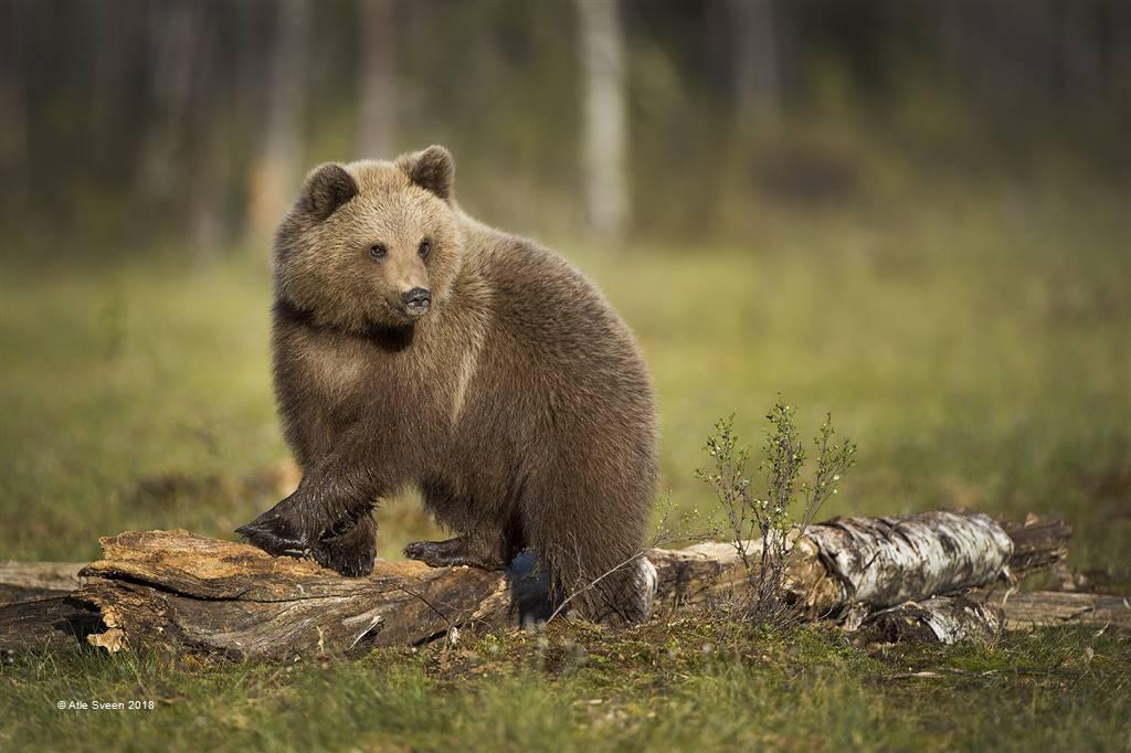 Atle Sveen – Bear on Log – Open Colour