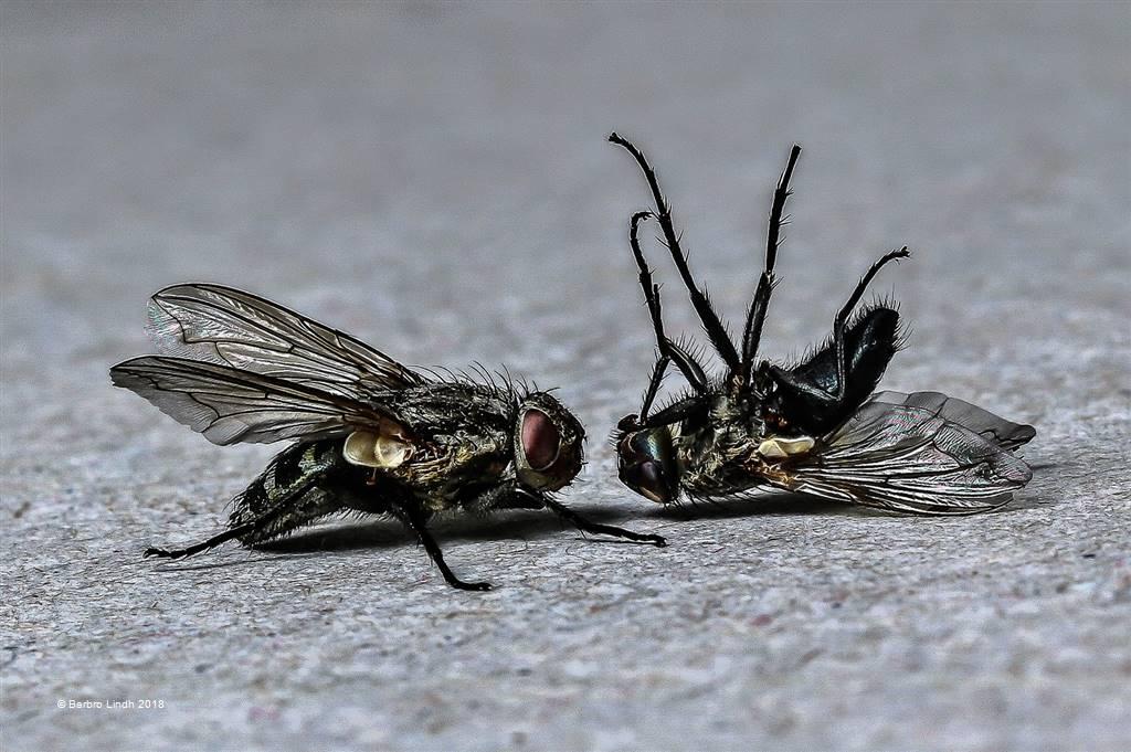 Barbro Lindh – Flies – Open Colour