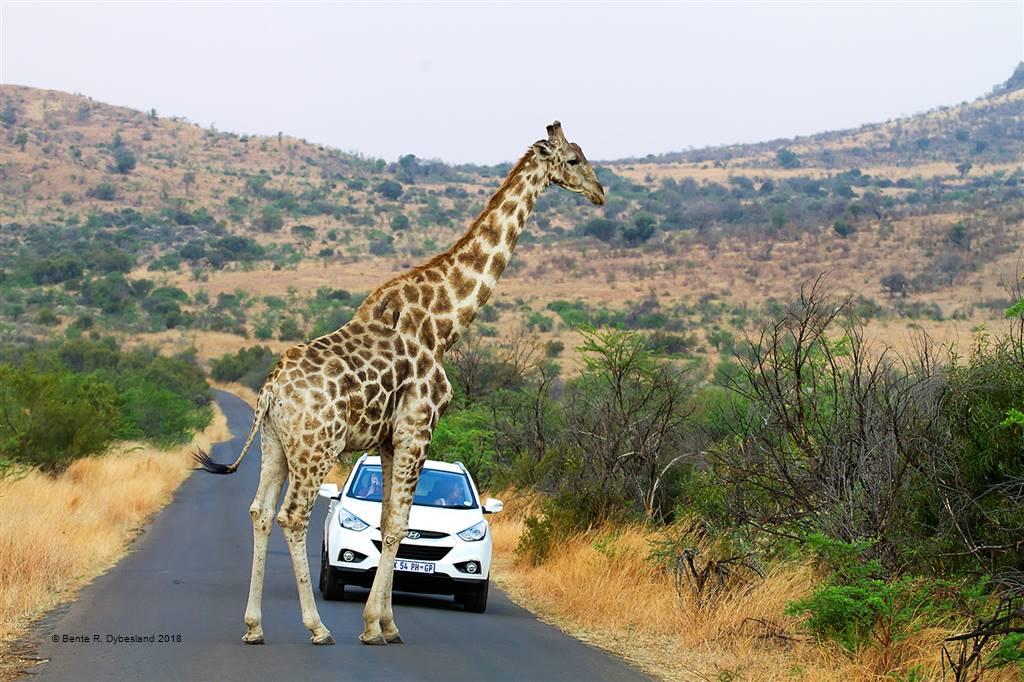 Bente R. Dybesland – Mind the Giraffe – Photo Travel