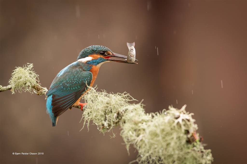 Bjorn Reidar Olsson – Kingfisher with Catch – Open Colour