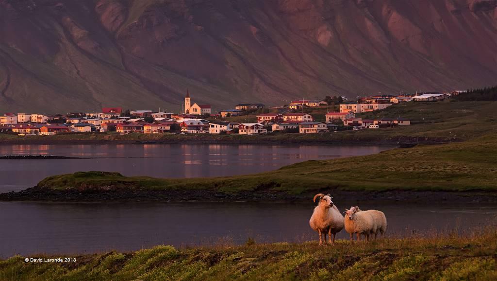 David Laronde – Icelandic Sheep – Photo Travel