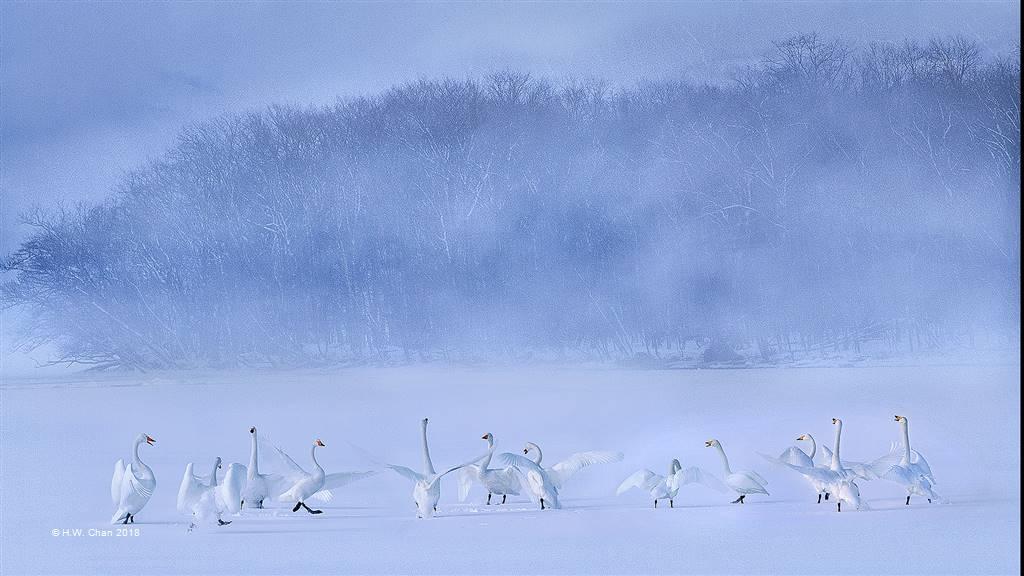 H.W. Chan – Swan 4 – Open Colour