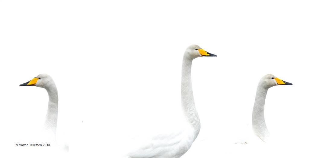 Morten Tellefsen – Swan Heads – Open Colour