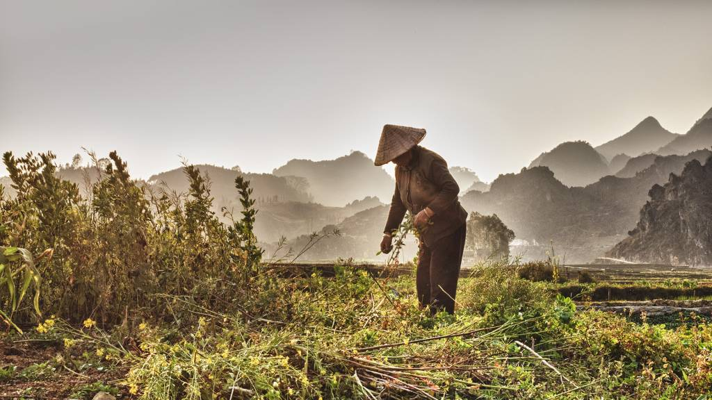 4Tore Johan Birkeland_Harvesting in Vietnam_PSA Ribbon_EFIAP_Projected Digital Images Photo Travel