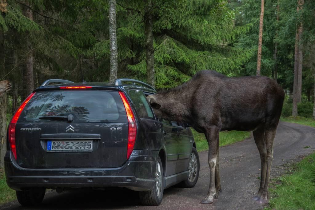 4Torhild Hyllseth_Safari in Sweden_FIAP Ribbon_AFIAP_Projected Digital Images Photo Travel